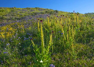 Desert Candle (Caulanthus inflatus) flowering, Carrizo Plain National Monument, California