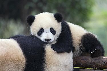 Giant Panda (Ailuropoda melanoleuca) six-to-eight month old cub resting on mother, Chengdu, China