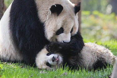 Giant Panda (Ailuropoda melanoleuca) mother playing with her six-to-eight month old cub, Chengdu, China