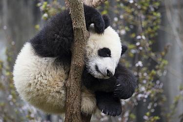 Giant Panda (Ailuropoda melanoleuca) six-to-eight month old cub sleeping in tree, Chengdu, China