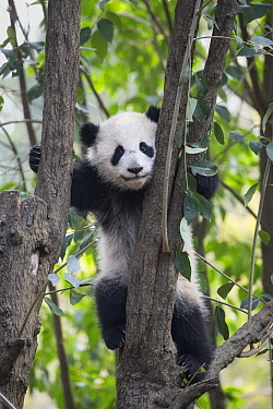 Giant Panda (Ailuropoda melanoleuca) six-to-eight month old cub in tree, Chengdu, China