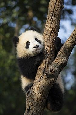 Giant Panda (Ailuropoda melanoleuca) six-to-eight month old cub in tree, Chengdu, China