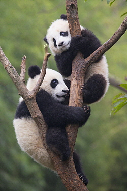 Giant Panda (Ailuropoda melanoleuca) six-to-eight month old cubs playing in tree, Bifengxia Panda Base, Sichuan, China
