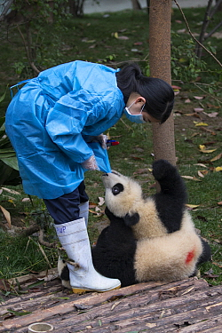 Giant Panda (Ailuropoda melanoleuca) six-to-eight month old cub chewing on keeper's uniform while she marks it with an identification spot, Chengdu, China