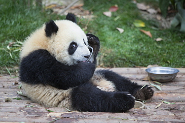 Giant Panda (Ailuropoda melanoleuca) six-to-eight month old cub drinking milk from bowl, Chengdu, China