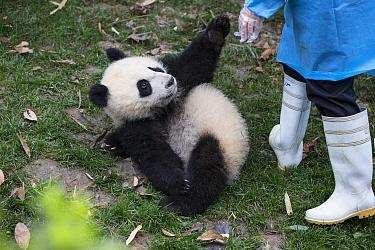 Giant Panda (Ailuropoda melanoleuca) six-to-eight month old cub playing with keeper, Chengdu, China