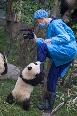Giant Panda (Ailuropoda melanoleuca) six-to-eight month old cub clinging to leg of staff videographer, Chengdu, China