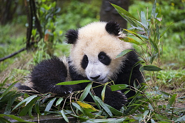 Giant Panda (Ailuropoda melanoleuca) six-to-eight month old cub feeding on bamboo, Bifengxia Panda Base, Sichuan, China