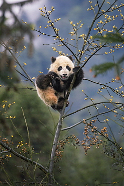 Giant Panda (Ailuropoda melanoleuca) six-to-eight month old cub in tree, Bifengxia Panda Base, Sichuan, China
