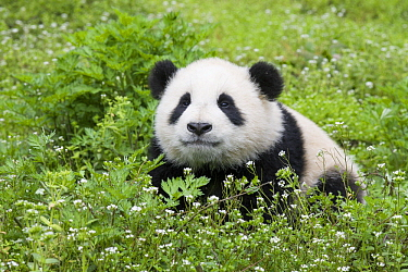 Giant Panda (Ailuropoda melanoleuca) six-to-eight month old cub, Bifengxia Panda Base, Sichuan, China