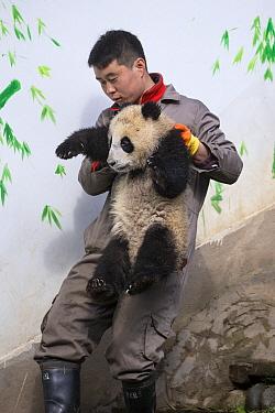 Giant Panda (Ailuropoda melanoleuca) keeper carrying six-to-eight month old cub, Bifengxia Panda Base, Sichuan, China