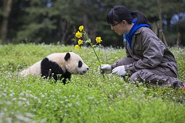 Giant Panda (Ailuropoda melanoleuca) keeper with six-to-eight month old cub, Bifengxia Panda Base, Sichuan, China
