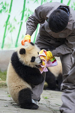 Giant Panda (Ailuropoda melanoleuca) keeper cleaning milk off the face of six-to-eight month old cub, Bifengxia Panda Base, Sichuan, China