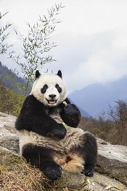 Giant Panda (Ailuropoda melanoleuca) feeding on bamboo, Shenshuping Panda Base, Wolong Nature Reserve, Sichuan, China