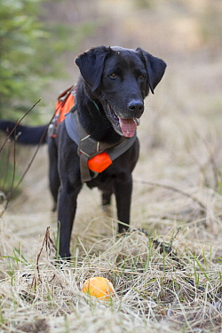 Domestic Dog (Canis familiaris) named Scooby, a scent detection dog with Conservation Canines, playing, northeast Washington