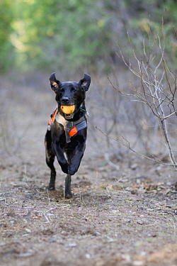 Domestic Dog (Canis familiaris) named Scooby, a scent detection dog with Conservation Canines, playing during a break, northeast Washington