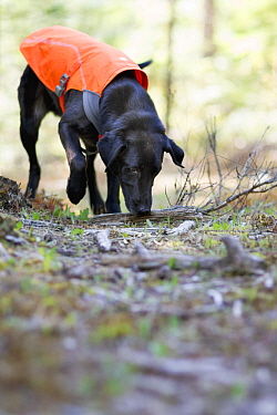Domestic Dog (Canis familiaris) named Scooby, a scent detection dog with Conservation Canines, searching for carnivore scat, northeast Washington