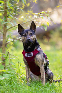 Domestic Dog (Canis familiaris) named Skye, a scent detection dog with Conservation Canines, northeast Washington
