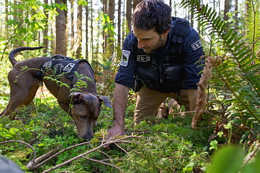 Domestic Dog (Canis familiaris) named Captain, a scent detection dog with Conservation Canines, being trained by field technician Caleb Staneck, northeast Washington