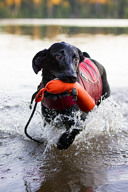 Domestic Dog (Canis familiaris) named Ranger, a scent detection dog with Conservation Canines, playing in water, Adirondack Mountains, New York