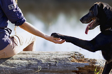 Domestic Dog (Canis familiaris) named Scooby, a scent detection dog with Conservation Canines, offering paw to field technician Jennifer Hartman, northeast Washington