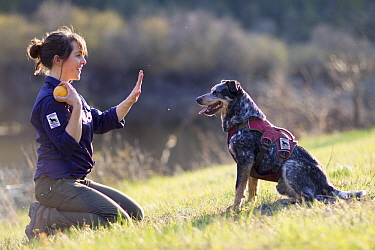 Domestic Dog (Canis familiaris) named Jack, a scent detection dog with Conservation Canines, being trained by field technician Suzie Marlow, northeast Washington
