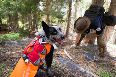 Domestic Dog (Canis familiaris) named Pips, a scent detection dog with Conservation Canines, found a carnivore scat that field technician Heath Smith is collecting, Sierra Nevada, California