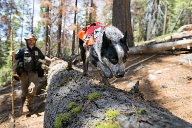Domestic Dog (Canis familiaris) named Pips, a scent detection dog with Conservation Canines, searching for carnivore scat, northeast Washington