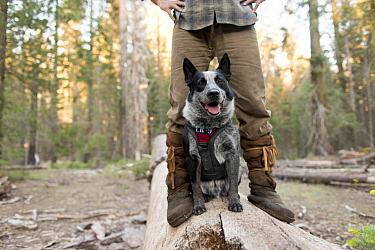 Domestic Dog (Canis familiaris) named Pips, a scent detection dog with Conservation Canines, and field technician Heath Smith, Sierra Nevada, California