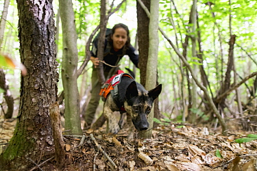 Domestic Dog (Canis familiaris) named Skye, a scent detection dog with Conservation Canines, searching for moose scat, Adirondack Mountains, New York
