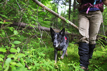 Domestic Dog (Canis familiaris) named Max, a scent detection dog with Conservation Canines, searching for moose scat, Adirondack Mountains, New York
