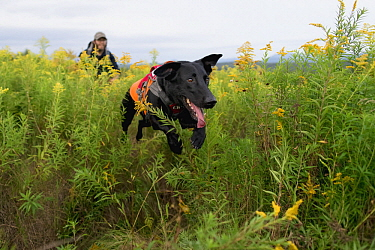 Domestic Dog (Canis familiaris) named Ranger, a scent detection dog with Conservation Canines, searching for moose scat, Adirondack Mountains, New York