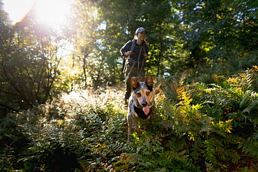 Domestic Dog (Canis familiaris) named Hiccup, a scent detection dog with Conservation Canines, searching for mustelid scat, Adirondack Mountains, New York