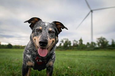 Domestic Dog (Canis familiaris) named Jack, a scent detection dog with Conservation Canines, searching for bat and bird carcasses on wind farm, New York