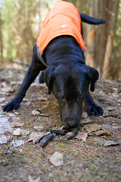 Domestic Dog (Canis familiaris) named Sampson, a scent detection dog with Conservation Canines, finding carnivore scat, northeast Washington
