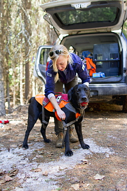 Domestic Dog (Canis familiaris) named Sampson, a scent detection dog with Conservation Canines, is harnessed by field technician Julianne Ubigau, northeast Washington