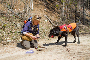 Domestic Dog (Canis familiaris) named Sampson, a scent detection dog with Conservation Canines, found a carnivore scat that field technician Julianne Ubigau is collecting, northeast Washington