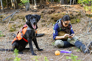 Domestic Dog (Canis familiaris) named Scooby, a scent detection dog with Conservation Canines, found a carnivore scat that field technician Jennifer Hartman logs into data entry, northeast Washington