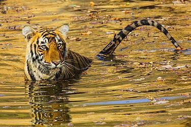 Bengal Tiger (Panthera tigris tigris) in waterhole, Ranthambore National Park, India