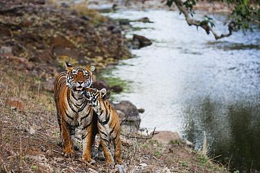 Bengal Tiger (Panthera tigris tigris) cub greeting mother at waterhole, Ranthambore National Park, India