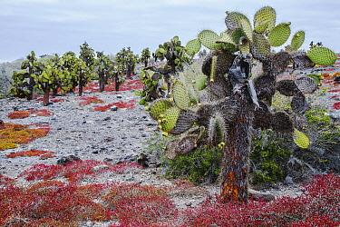 Opuntia (Opuntia echios) cacti, Suarez Point, Espanola Island, Galapagos Islands, Ecuador