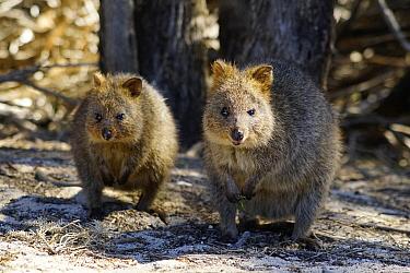 Quokka (Setonix brachyurus) mother and joey, Rottnest Island, Western Australia, Australia