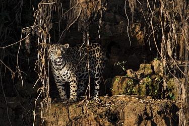 Jaguar (Panthera onca) in rainforest, Brazil