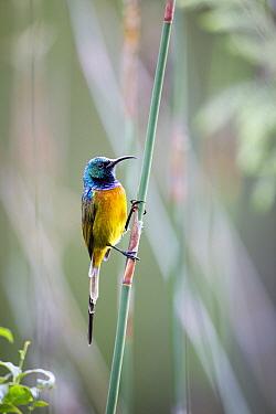 Orange-breasted Sunbird (Nectarinia violacea) male, Montagu Pass, Western Cape, South Africa
