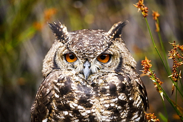 Spotted Eagle-Owl (Bubo africanus), Montagu Pass, Western Cape, South Africa