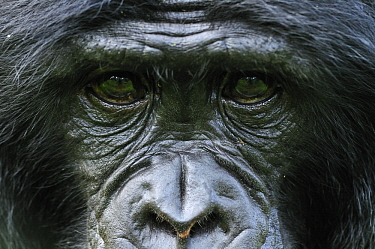 Bonobo (Pan paniscus) staring, native to central Africa
