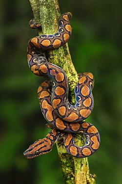 Rainbow Boa (Epicrates cenchria) juvenile, Amacayacu National Park, Leticia, Colombia