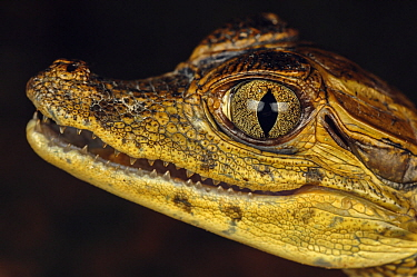 Spectacled Caiman (Caiman crocodilus) young, Leticia, Colombia