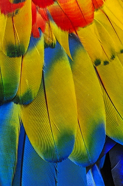 Scarlet Macaw (Ara macao) wing feathers, native to South America