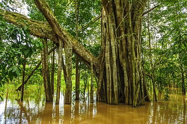 Fig (Ficus sp) tree with exposed stilt roots in flooded forest of the Amazon, Amacayacu National Park, Leticia, Colombia